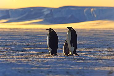Emperor Penguins, Aptenodytes Forsteri, ice shelf, Iseberg, Antarctic