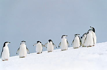Chinstrap Penguins, Pygoscelis Antarctica, Antarctic