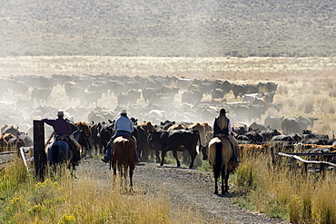 cowboys with cattle, Oregon, USA