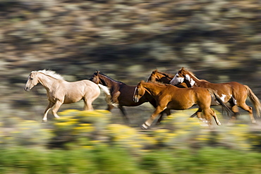 Horses in wildwest gallopping, Oregon, USA