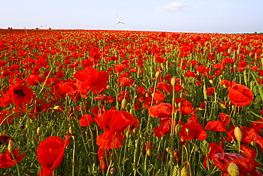 red poppies in grain field, wind turbines on horizon, northern Germany, Europe