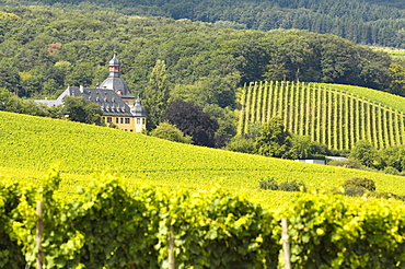 Vineyards and Castle Vollrads, Rheingau, Hesse, Germany