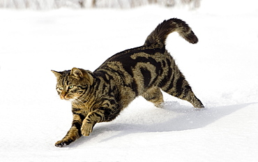 Cat running in snow, domestic cat, male, Germany
