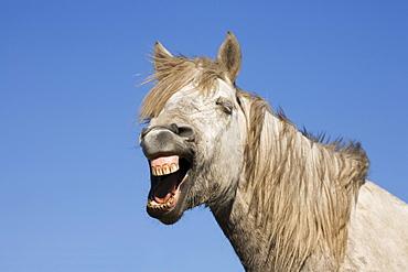 Neighing Camargue horse, Camargue, France