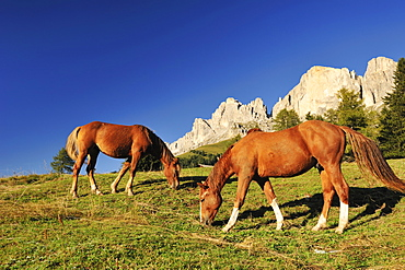 Horses on a meadow beneath the Rotwand, Rosengarten, Dolomites, UNESCO World Heritage Site, South Tyrol, Italy