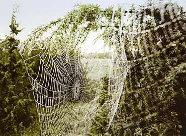 Spiderweb in fog, Oeland island, Sweden, Europe