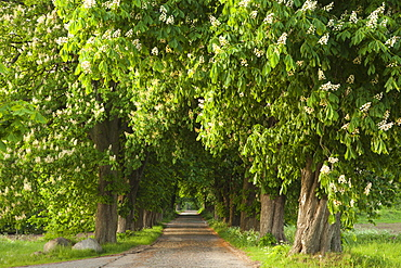 Chestnut alley with blooming trees, Ruegen island, Baltic Sea, Mecklenburg-Western Pomerania, Germany, Europe