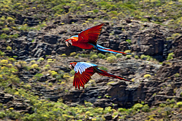 Parrots during a bird show, Palmitos Park, Maspalomas, Gran Canaria, Canary Islands, Spain, Europe