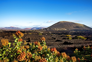 Vineyards growing on volcanic soil, La Geria, Lanzarote, Canary Islands, Spain, Europe