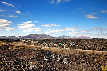 Camels in volcanic landscape, Timanfaya National Park, Lanzarote, Canary Islands, Spain, Europe