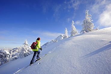 Woman backcountry skiing, ascending through a winter forest to Schildenstein, Schildenstein, Tegernseer range, Bavarian Prealps, Upper Bavaria, Bavaria, Germany
