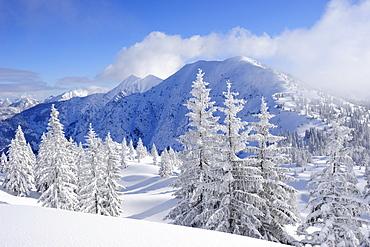 Snow covered fir trees at Schildenstein, Schildenstein, Tegernseer range, Bavarian Prealps, Upper Bavaria, Bavaria, Germany