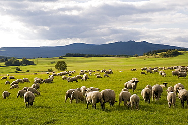 Harz landscape with sheep herd, Brocken in background, Harz, Saxony-Anhalt, Germany