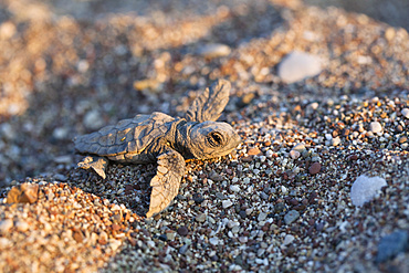 Loggerhead Sea Turtle, hatchling, Caretta caretta, Cirali, lykian coast, Mediterranean Sea, Turkey