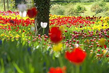 Flower meadow with tulips, Mainau Island, Lake Constance, Baden-Wuerttemberg, Germany, Europe