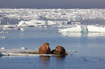 Walruses playing in pack ice, Hinlopenstretet, Arctic Ocean, Svalbard, Norway, Europe