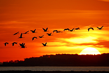 Cranes flying at sunrise, Western Pomerania Lagoon Area National Park, Fischland-Darss-Zingst Peninsula, Baltic Sea, Mecklenburg Vorpommern, Germany
