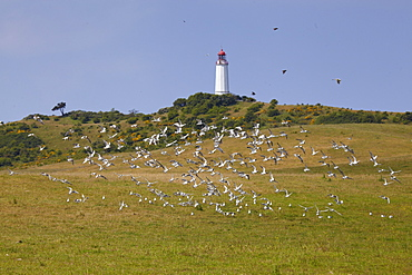 Seagulls in front of Dornbusch lighthouse, Hiddensee Island, Western Pomerania Lagoon Area National Park, Mecklenburg Western Pomerania, Germany, Europe