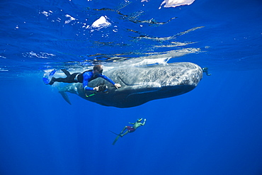 Skin diver strokes Sperm Whale, Physeter macrocephalus, Caribbean Sea, Dominica, Leeward Antilles, Lesser Antilles, Antilles, Carribean, West Indies, Central America, North America