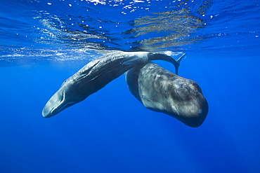 Social bahavior of Sperm Whale, Physeter macrocephalus, Caribbean Sea, Dominica, Leeward Antilles, Lesser Antilles, Antilles, Carribean, West Indies, Central America, North America
