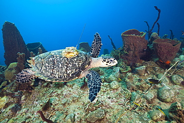Hawksbill Turtle tagged with Transmitter, Eretmochelys imbriocota, Caribbean Sea, Dominica, Leeward Antilles, Lesser Antilles, Antilles, Carribean, West Indies, Central America, North America