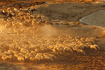 Flock of sheep in the desert Bardenas Reales, UNESCO Biosphere Reserve, Province of Navarra, Northern Spain, Spain, Europe