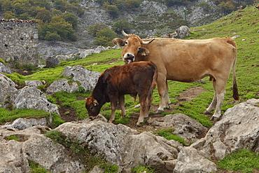 Cows on a mountain pasture, Majadas Las Boblas, western Picos de Europa, Parque Nacional de los Picos de Europa, Picos de Europa, Province of Asturias, Principality of Asturias, Northern Spain, Spain, Europe