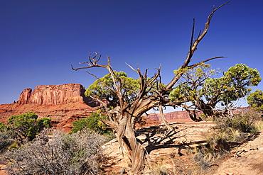 Utah juniper under blue sky, White Rim Drive, White Rim Trail, view to Green River, Island in the Sky, Canyonlands National Park, Moab, Utah, Southwest, USA, America