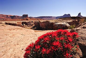 Flowering red Indian paintbrush, Castilleja, at White Rim Drive, White Rim Trail, Island in the Sky, Canyonlands National Park, Moab, Utah, Southwest, USA, America