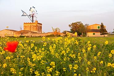 Wind mill with flower meadow in summer, symbol of Mallorca, Es Pla, near Palma de Mallorca, Spain