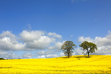 Rape field in the sunlight, nature park Holsteinische Schweiz, Baltic Sea, Schleswig-Holstein, Germany, Europe