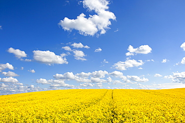 Clouds over rape field, nature park Holsteinische Schweiz, Baltic Sea, Schleswig-Holstein, Germany, Europe