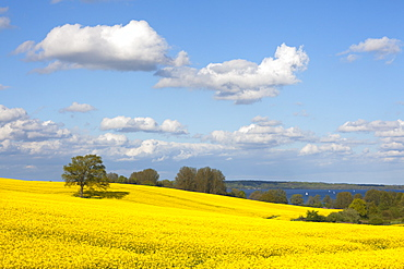 Oak in rape field, sailing boats on lake Wittensee, Baltic Sea, Schleswig-Holstein, Germany, Europe