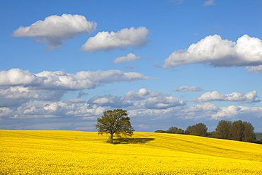 Oak in rape field, Baltic Sea, Schleswig-Holstein, Germany, Europe