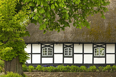Horse chestnut in front of a half timbered house with thatched roof, Sieseby, Baltic Sea, Schleswig-Holstein, Germany, Europe