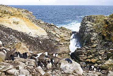 Rockhopper Penguins, Eudyptes chrysocome, and Black-browed Albatross, Diomedea melanophrys, New Island, Falkland Islands, Subantarcic