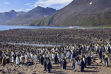 King Penguins, Aptenodytes patagonicus, St Andrews Bay, South Georgia, Antarctica