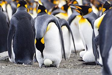 King Penguin with egg, Aptenodytes patagonicus, St Andrews Bay, South Georgia, Antarctica