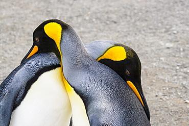 King Penguins, Aptenodytes patagonicus, pair courting, South Georgia, Antarctica