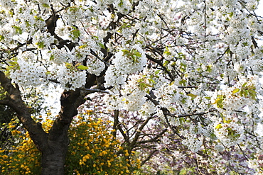 Flowering cherry tree, blossom in Spring, Nature
