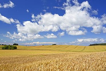 Cornfield under clouded sky, Island of Ruegen, Mecklenburg Western Pomerania, Germany, Europe