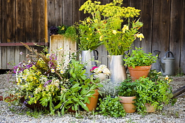 Homegrown herbs and wild herbs, herbage, in a garden, Homegrown