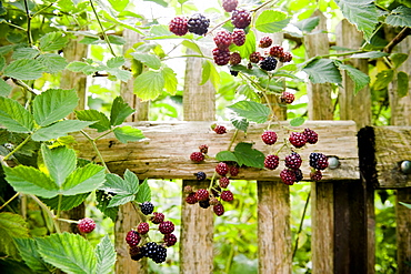 Blackberry bush in the garden, Fruit
