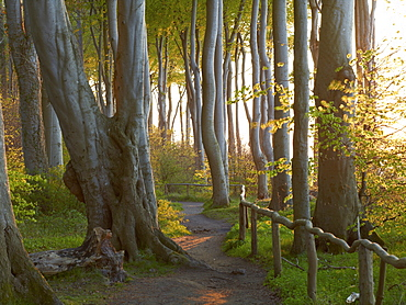 Beech forest at the Baltic coast in the evening light, Heiligendamm, Mecklenburg Western Pomerania, Germany, Europe