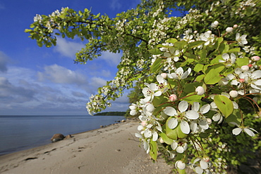 Blooming pear on Vilm island, Ruegischer Bodden, Baltic coast, Mecklenburg Western Pomerania, Germany, Europe