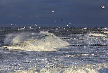 Seagulls above stormy sea, Baltic coast, Mecklenburg Western Pomerania, Germany, Europe