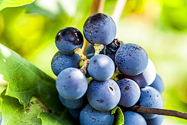 Red grapes on the vine at Lago di Garda, Province of Verona, Northern Italy, Italy