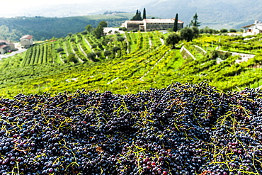 Wineyards at Valpolicella, Marana di Valpolicella, Lago di Garda, Province of Verona, Northern Italy, Italy