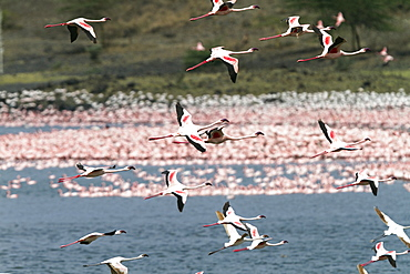 Lesser Flamingoes in flight, Phoeniconaias minor, Arusha National Park, Tanzania, East Africa, Africa