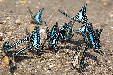 Common Swordtail butterflies at lake Tanganyika, Graphium policenes, Mahale Mountains National Park, Tanzania, East Africa, Africa
